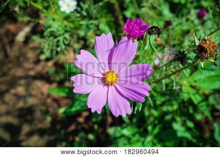 Purple Magenta Flower with yellow color center