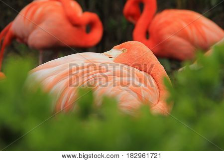colorful flamingo with beautiful orange feathers having rest behind the blurred green bush