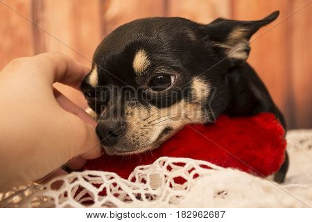 Dog breed Chihuahua rests and looks into the distance