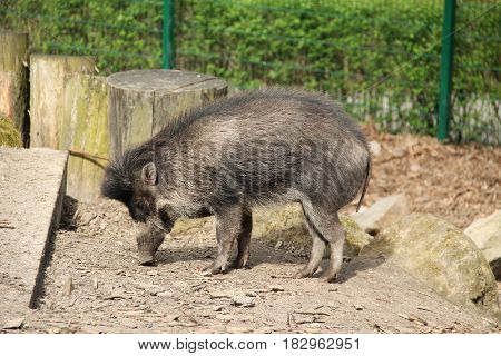 visayan warty pig (Sus cebifrons) in outdoor enclosure