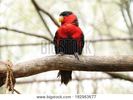 back-capped lory (Lorius lory) sitting on the branch in aviary
