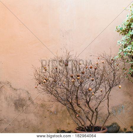 Decorative Punica Tree With Ripe Pomegranates