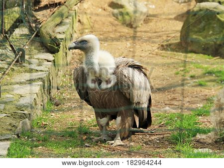 big griffon vulture (Gyps fulvus) in the aviary in ZOO