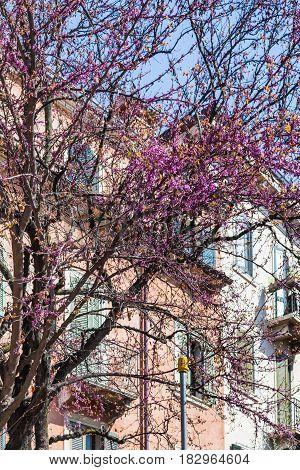 Flowering Of Cercis Siliquastrum In Spring