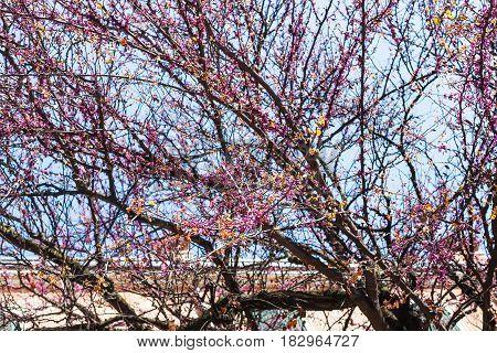 Pink Flowers On Tree In Verona City In Spring