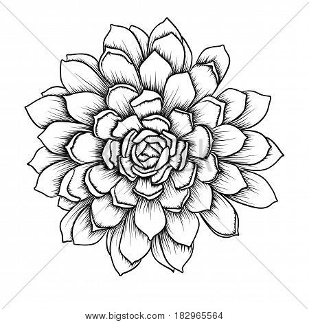 Succulent succulents cactus agave beautiful flower leaf leaves black linear outline retro close-up vector illustration isolated white background. Top view delicate hand drawn element