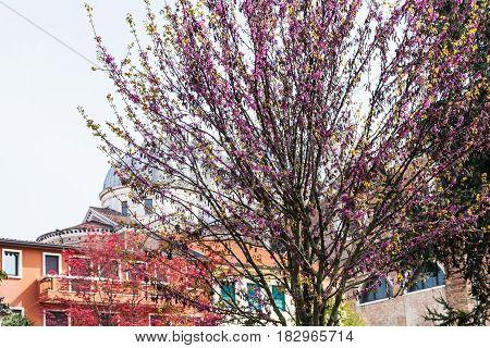 Flowering Judas Tree In Padua City In Spring