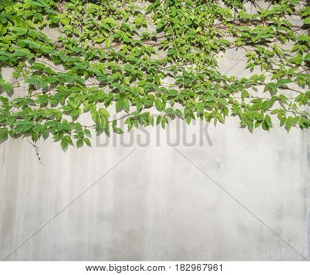 Green ivy creeper on wall background