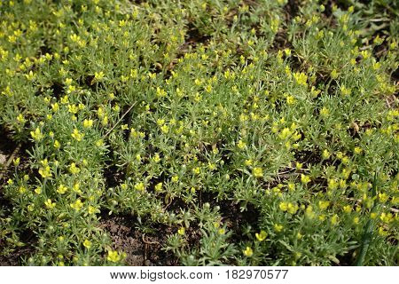 Dull yellow flowers of the bur buttercup