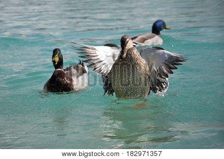 Mallard Ducks. Anas platyrhynchos relaxing in pond one is flying up