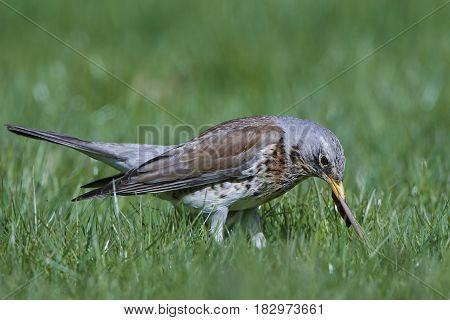 Fieldfare standing in grass with a earthworm in its beak