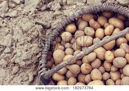an old wicker basket with potatoes for planting in the background vskapannoy land / crop harvested vegetables