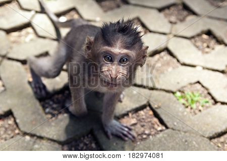 cub of gray macaque on a road in the monkey forest in Bali