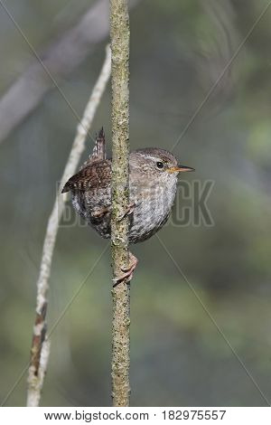 Eurasian wren resting on a branch with vegetation in the background