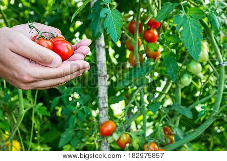 Farmer collects cherry tomatoes in the greenhouse. Family business.