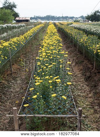 Chrysanthemum flower row of the countryside farm near the small lake in Thailand.
