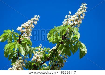 An image of a chestnut blossom and the blue sky