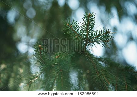 closeup shot of green fir sways on wind in spring sunny morning with light leaks, shallow focus