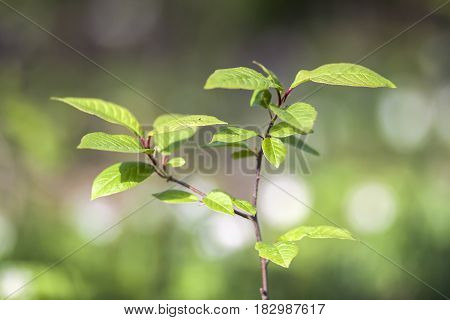 Green Leaves Of Young Tree In Spring. Beginning Of New Life In Spring