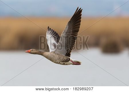 Portrait Of Flying Gray Goose (anser Anser) With Reed And Water