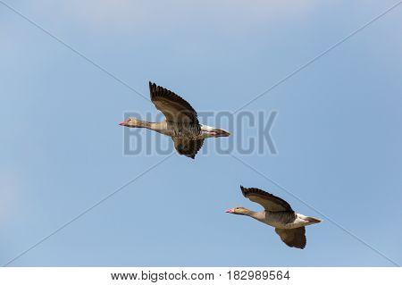 Portrait Of Two Flying Gray Gooses (anser Anser) In Blue Sky