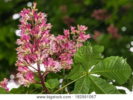 chestnut tree in spring time, pink flowers