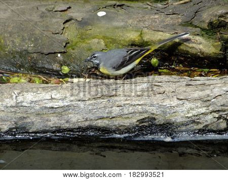 Grey wagtail feeding amongst logs washed down river