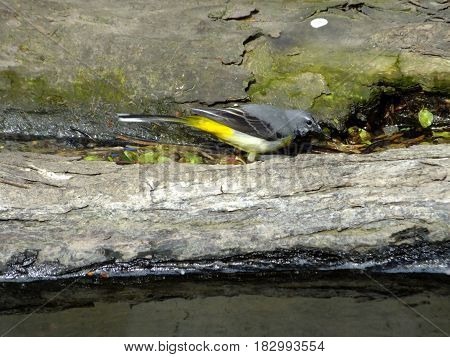 Grey wagtail feeding amongst logs that have been washed down river