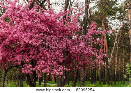 Pink Beautiful Tree Flowers Paradise Apple Tree On A Background Of Juicy Spring Green Grass In A Cit