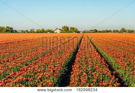 Red with yellow colored tulip flowers in long converging flower beds at a speciliazed Dutch bulb nursery. It is early in the morning of a sunny day in the beginning of the spring season.