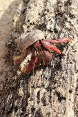 Red Legged Hermit Crab in Mexico beach sand Clibanarius digueti poster