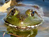 American bullfrog. Frog in a lake closeup. (Lithobates catesbeianus or Rana catesbeiana) poster