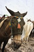 Donkeys on Santorini Island (Fira town, Greece). poster