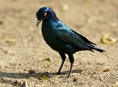 Glossy starling looking for food on the ground orange eye poster
