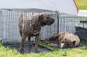 Sadness dogs in locked small kennel. Dog photo poster
