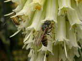 Garden flowers being pollinated by social wasps (Vespula sp.). poster