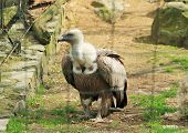big griffon vulture (Gyps fulvus) in the aviary in ZOO poster