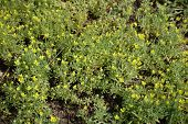 Dull yellow flowers of the bur buttercup poster