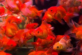 Goldfish swim in aquarium box.Saturation color by fancy lighting.