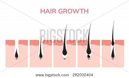 Hair Growth Cycle Skin. Follicle Anatomy Anagen Phase, Hair Growth Diagram Illustration.