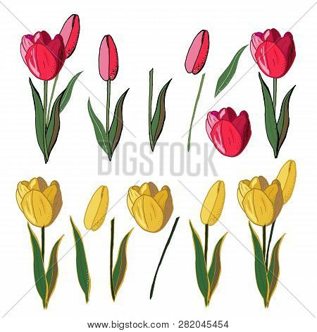 Isolated Vector Set Of Colorful Realistic Tulips With Black Outline
