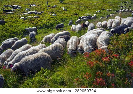 Sheep On A Mountain Pasture
