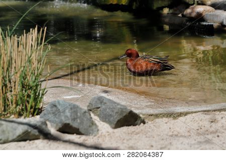 Full Body Of Swimming Male Cinnamon Teal Duck. Photography Of Nature And Wildlife.