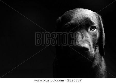 Labrador Puppy Head On - Light/Dark