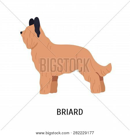 Briard Or Berger De Brie. Adorable Large Herding Dog Or Sheepdog With Long Hair Isolated On White Ba