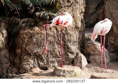 Centralized white two flamingo birds in a beautiful ambient. A beautiful bird of paradise and animals Flamingo enjoying the sunny day. Lesser Flamingo standing on one leg. poster