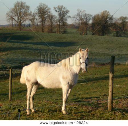 White Mare In Pasture