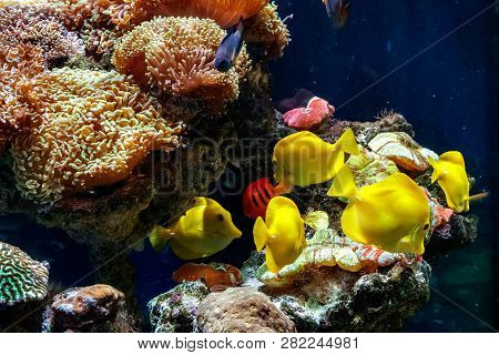 A Beautiful Aquarium With Corals And Fish Yellow Zebrasome Yellow Tang