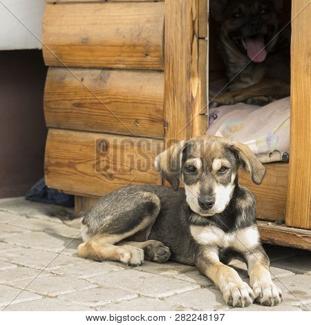 Funny Puppy Is Lying  Near Doghouse. Puppy