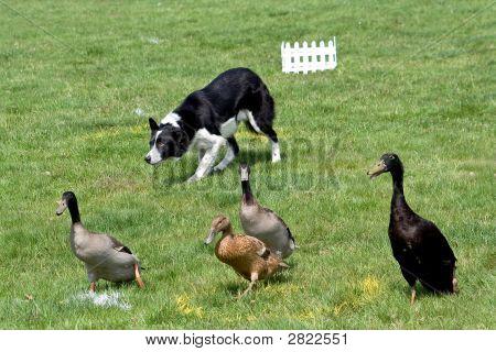 Collie Working Ducks